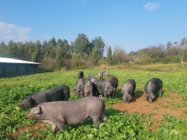 老浦家黑猪系列产品已盛大上市