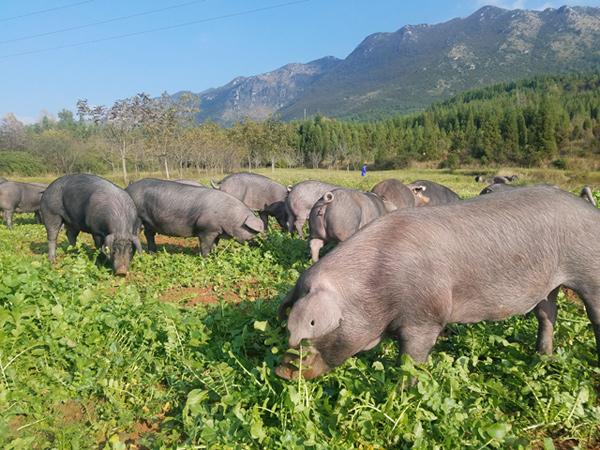 乌金猪饲养