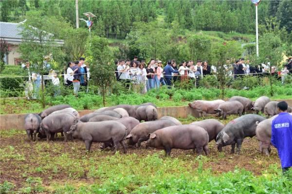 客商到养殖场观看黑猪生态环境